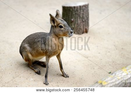 Full Body Of Sitting Patagonian Cavy Mara (dolichotis Mammal). Photography Of Nature And Wildlife.