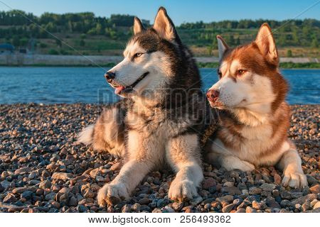 Portrait Two Husky Dogs Lying Side By Side By The River On Sunny Summer Evening. Side View.