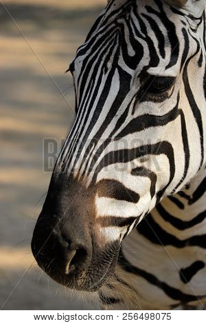 Portrait Head Details Of African Striped Coat Zebra. Photography Of Nature And Wildlife.