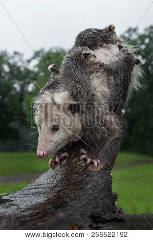 Opossum (didelphimorphia) And Joeys Balance On Log - Captive Animals