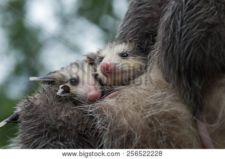 Wet Opossum Joeys (didelphimorphia) Huddle Together - Captive Animals