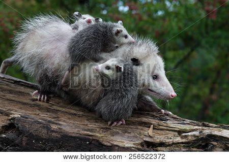 Opossum Joeys (didelphimorphia) Cling To Mother - Captive Animals