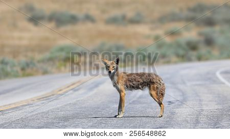 Coyote staring at the camera