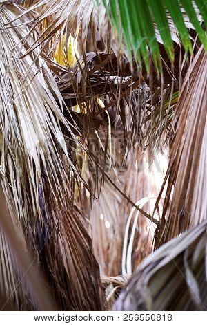 Close Up Of Palm Tree Leaves. Vertical Background Of Dry Leaves Of Tropical Trees, Bushes. Full Fram