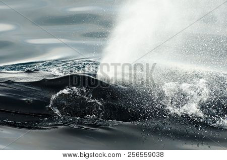 Humpback Whale Blow Hole In The Arctic - Greenland