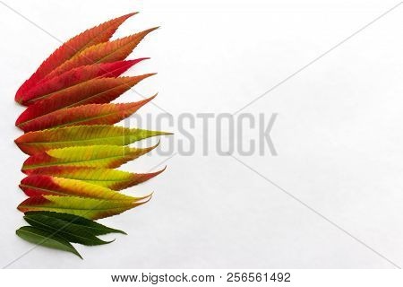 Gradient Colored Leaves Arranged In A Row At The Left Side Of Image. Autumn Leaf Coloration. Autumn