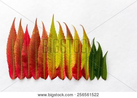 Gradient Colored Leaves Arranged In A Row. Autumn Leaf Coloration. Autumn Colors - Chlorophyll, Anth