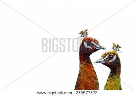 Two Peacocks Painted In Fall Colors On A White Background. Autumn Concept. Minimalistic Surrealism.