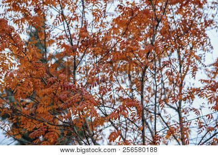 Bright Autumn Tree Crown, Red Last Leaves. Natural Fall Background. Autumn Scenic Vivid Colorful Tre