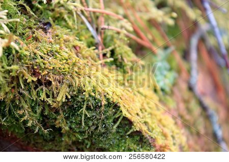 Green and yellow moss macro. Moss in the woods. Beautiful moss with bokeh effect. Mysterious moss in the forest