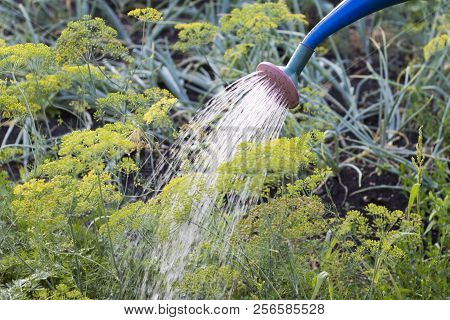 Watering The Garden, Water That Flows From The Watering Can And Water The Young Dill