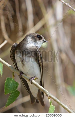 Swallow, Riparia riparia. poster
