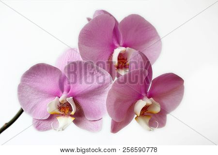 Close-up Of Pink-white Orchid (orchidaceae) Flower On The White Background. Macro Photography Of Nat