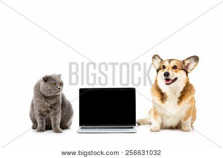 Studio Shot Of Grey British Shorthair Cat And Welsh Corgi Pembroke Sitting Near Laptop With Blank Sr