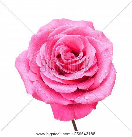 Pink Rose On White.