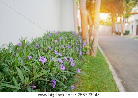 Purple Ruellias Flower In The Garden Near Concrete Fence And Road In Soft Focus