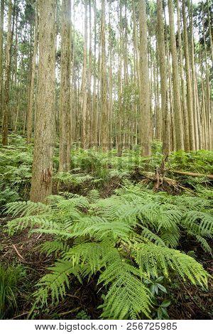 Green Ferns Community Under Conifer Forest In Vertical Composition