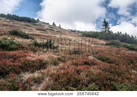 Autumn Mountain Meadow With Billbery And Blackberry Shrubs, Mountain Pine And Few Small Trees Bellow