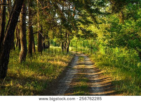 The Dirt Road In The Pine Wood In Decline Beams. The Dirt Road Covered With Pine Cones, Beams Of The