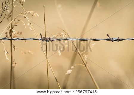 Barb Wire Close-up On A Golden Field With Grass Straws In The Summer