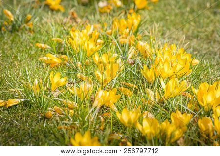 Springtime Crocus Flowers In Yellow Colors On A Green Lawn In The Sun Early In The Spring