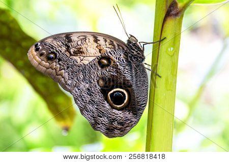 Beautiful Caligo Memnon Butterfly On A Plant