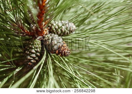 Macro Closeup Of Green Pine Tree Branches With Long Needles And Pine-cones In Forest Wood. Toned Wit