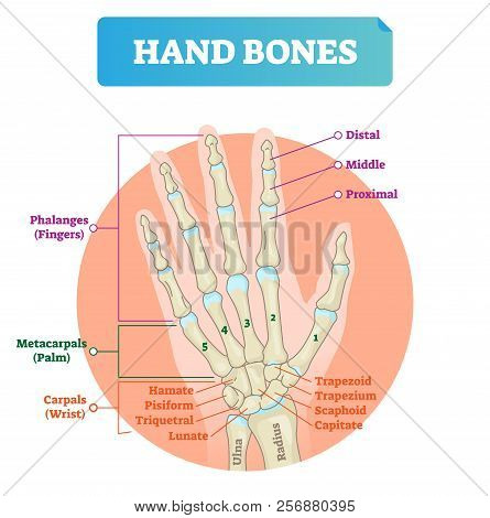 Hand Bones Vector Illustration. Labeled Educational Human Arm Structure With Phalanges, Metacarpals,