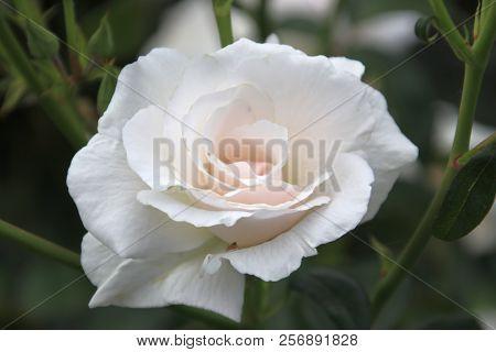 Rose Type Maria Mathilde In Close-up In The Public Rosarium Of Boskoop In The Netherlands