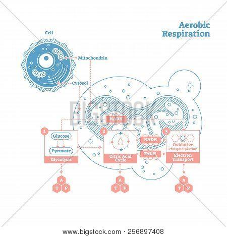 Aerobic Respiration Bio Anatomical Vector Illustration Diagram, Labeled Educational Medical Scheme.