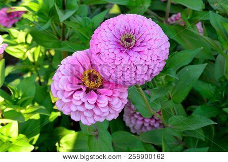 A Pair Of Blossoming Flowers, Background , Background Beautiful Blossom Closeup Flora Flower Garden