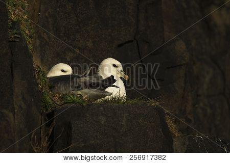 Fulmars On Cliff Edge By Other Fulmar On The Cliffs At Hawkcraig, Aberdour