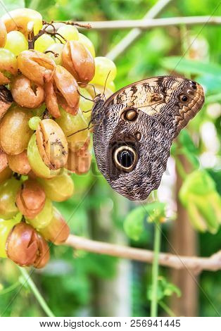 Owl Butterfly Perched On A Bunch Of Grapes (caligo Memnon)