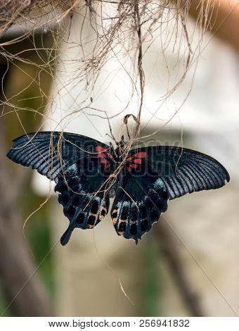 Beautiful Black Butterfly With Open Wings In A Garden