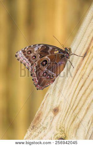 Blue Morpho Butterfly On A Trunk (morpho Peleides)