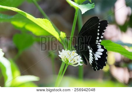 Beautiful Black Butterfly Perched On A Flower In A Garden