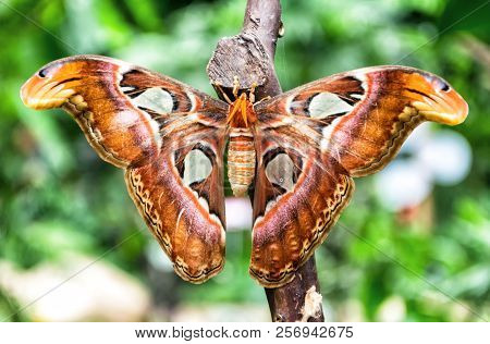 Beautiful And Big Attacus Atlas Butterfly On Green Background