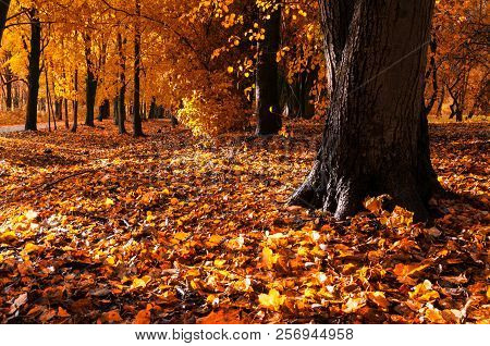 Fall forest landscape. Dry fall leaves covering the ground and forest fall trees under soft sunlight. Colorful fall forest landscape, fall sunny nature