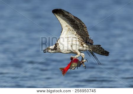 Majestic Osprey Has Salmon In Its Talons. An Osprey Flies Off With A Kokanee Salmon After Catching I