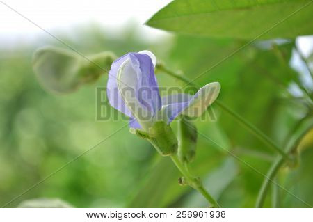 Winged Bean Flower, Psophocarpus Sp., Central Of Thailand