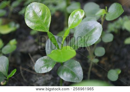Kaffir Lime, Citrus Hystrix, Plant In Pot From Central Of Thailand