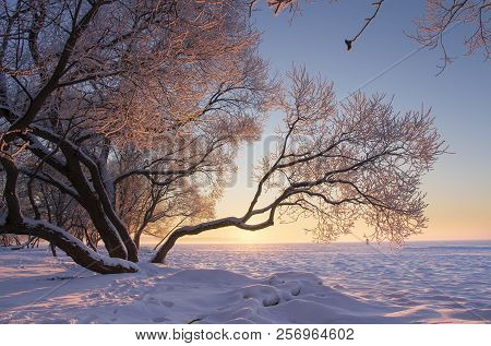 Amazing Winter Nature Landscape At Colorful Sunset. Tree With Hoarfrost In Warm Sunlight. Foggy And