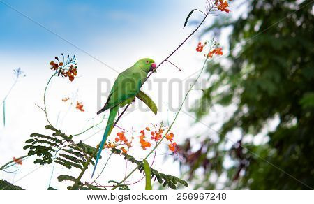 A Parrot Eating The Fruit From The Gulmohar Tree Which Is Also Called Royal Poinciana, In Its Natura