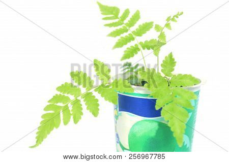Vegetable Fern, Diplazium Sp., Plant In Recycled Plastic Cup On White Background