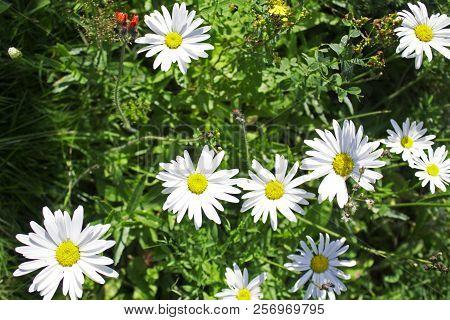 Big Garden Chamomiles In Summer Sunny Garden
