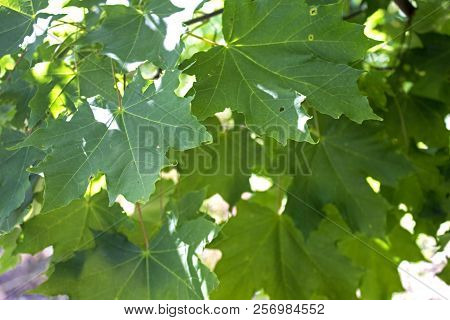 Garden Maple Branches Pattern On Hot July Sun
