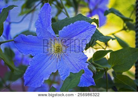 Big Blue Garden Flower Standing Alone In Grass