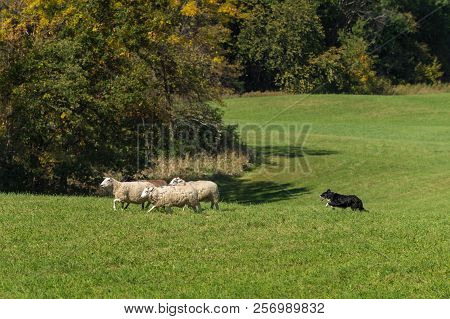 Stock Dog Moves Sheep (ovis Aries) Left Past Autumn Colors - At Sheep Dog Herding Trials