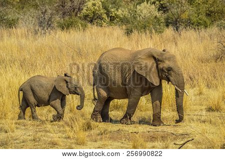 A Mother And Baby Calf Elephant In Pilanesberg National Park , North West Province  Near Gauteng