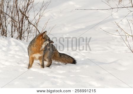 Grey Fox (urocyon Cinereoargenteus) Looks Right Mouth Open - Captive Animal